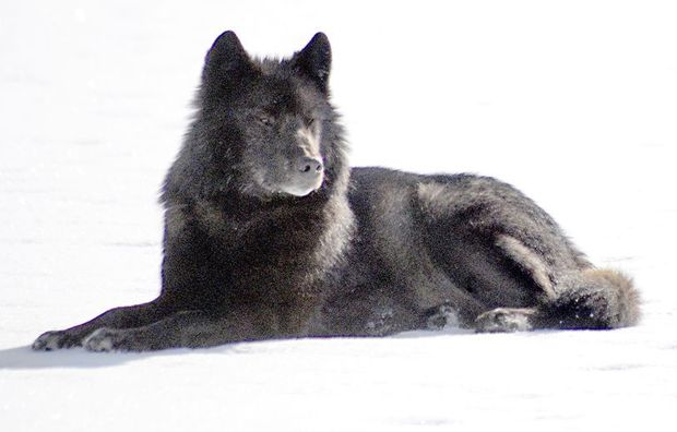 ... timber wolf, Romeo is as much a part of winter in Juneau as cross